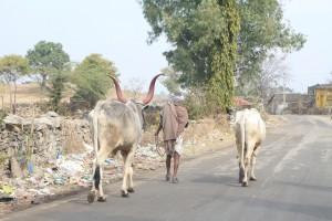 Рога коров красят в разные цвета